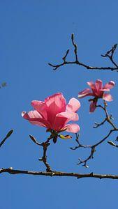 Magnolia (Tulpenboom)