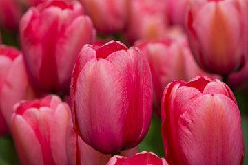 Tulpen  von Martin Helmich