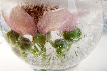 Blüte der Wilden Brombeere in Eis  4 von Marc Heiligenstein