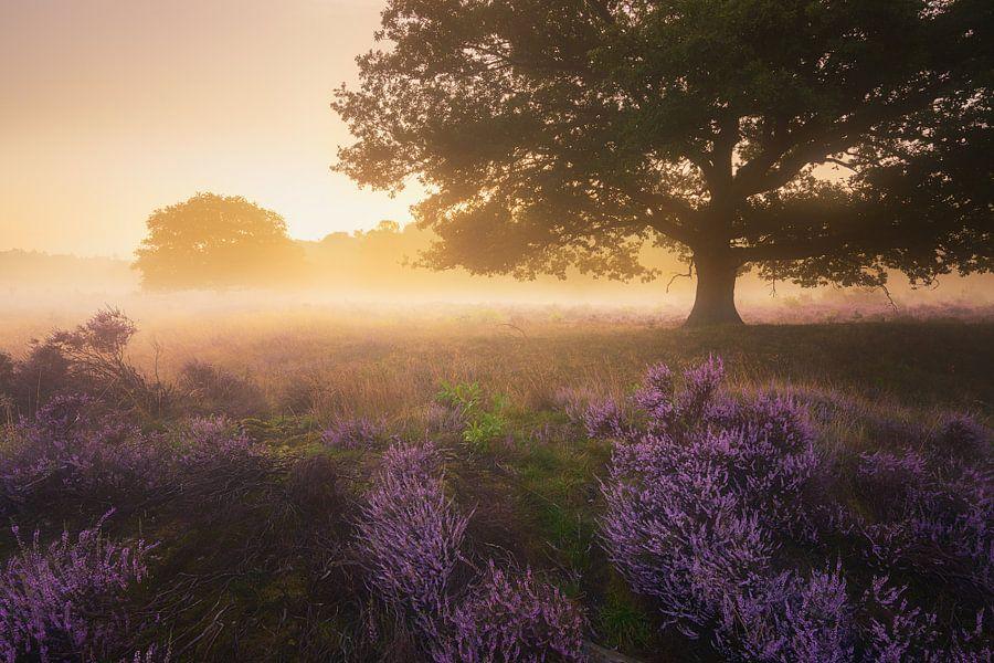 Paarse Heide Hilversum 3 van Albert Dros