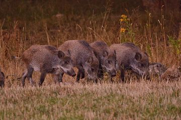 Vier Wildschweine von Geert De Graaf