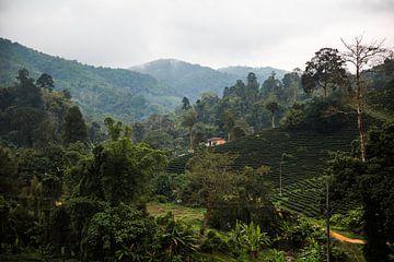Theeplantages in het noorden van Thailand van