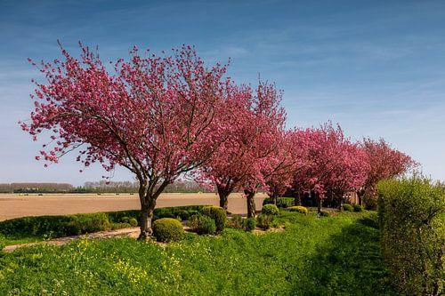 Rij bomen met lente bloesem