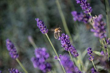 Lavendel met een bezige Bij sur Hans Tijssen