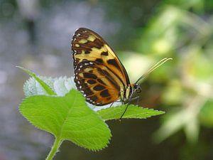 Eueides isabella ( Tropische vlinders ) Collectie 2018 van Jan van Bruggen