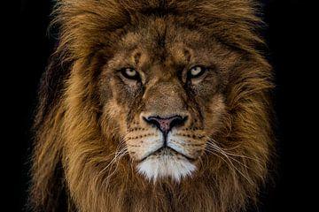 kwaaie leeuw kijkt mij recht aan van Nathalie Peters Koopmans