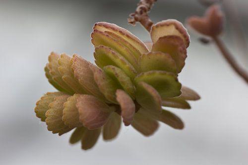 Vetplant groen met roze
