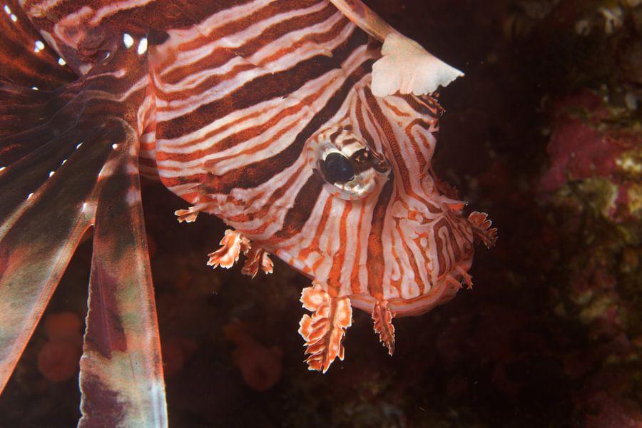 Close-up van een koraalduivel van M&M Roding