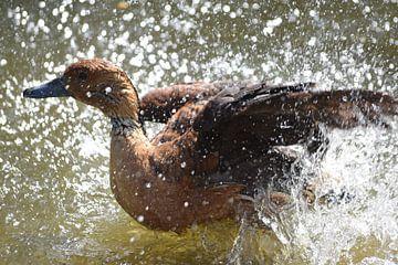 Éclaboussures de canard dans l'eau sur Nicolette Vermeulen