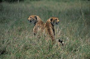Luipaarden van Hein de Vries
