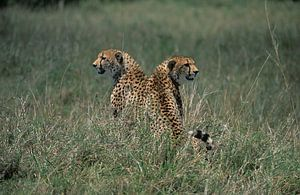Luipaarden van