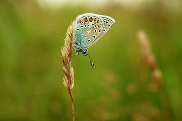 Icarusblauwtje van Mirjam Koetje