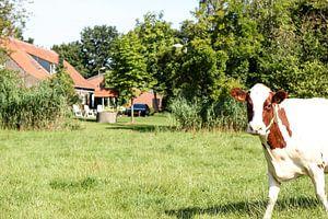 Hollandse koe in de wei