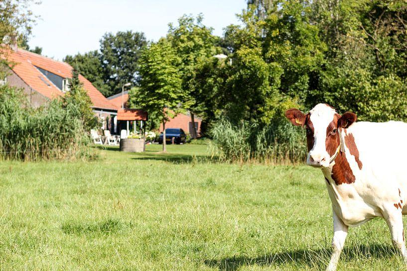 Hollandse koe in de wei van Erik Koks