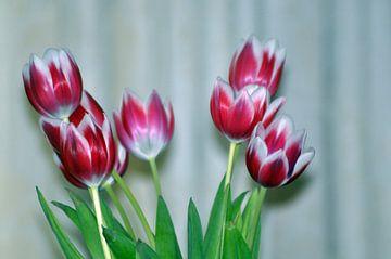 Tulips von Jack Veraart
