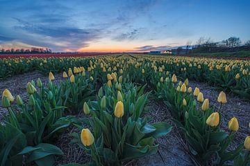 Tulpen bei Sonnenuntergang von Thijs Friederich