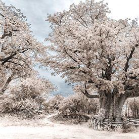 Baobab - Boom van Ursula Di Chito