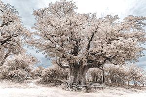 Baobab - Boom