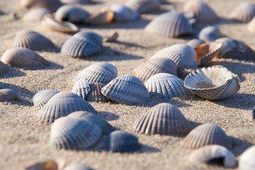 Herzmuschel Muscheln am Strand von Ad Jekel