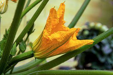 courgettebloem op een plant in de moestuin, geselecteerde focus, smalle scherptediepte van Maren Winter