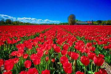 Rote Tulpen in Lisse von Mario Brussé Fotografie