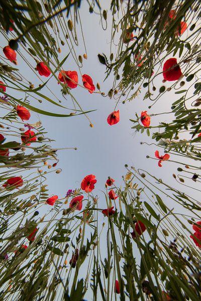 Mohnblumen in Mechelen von Jim De Sitter