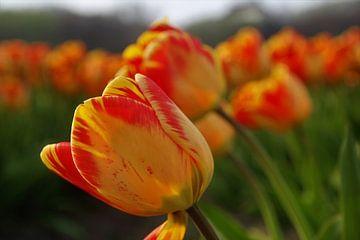 Oranje rode tulpen van Geert Heldens