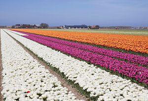 Witte , roze en oranje bloeiende tulpen van