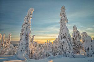 Besneeuwde bomen in Fins Lapland