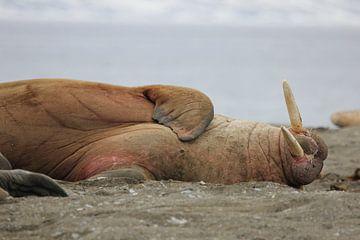 Ruhendes Walross in der Arktis von De_Taal_Fotograaf