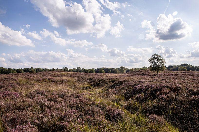Heide auf dem Gasterse Duinen von Sander de Jong