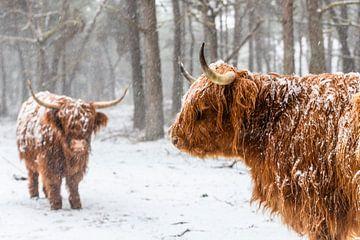 Porträt einer schottischen Highlander-Kuh im Schnee von