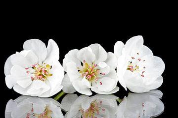 Kirschblüte Nahaufnahme von Nisangha Masselink