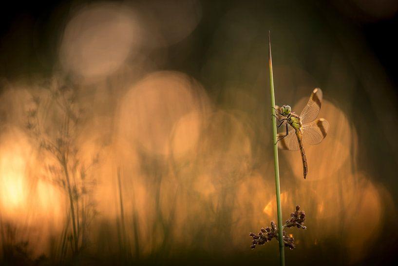 Bandheidelibel bij zonsondergang van Erik Veldkamp