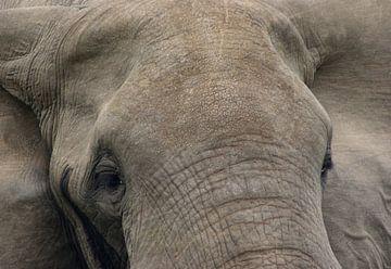 Close up van een Afrikaanse olifant van Achim Prill