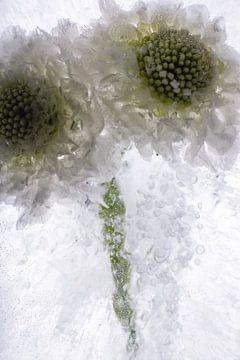 Witte Scaevola in ijs 2 van Marc Heiligenstein