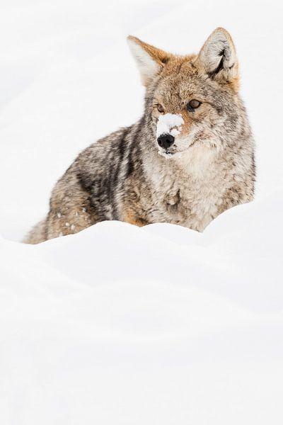 Prairiewolf in Yellowstone Nationaal Park van Caroline Piek
