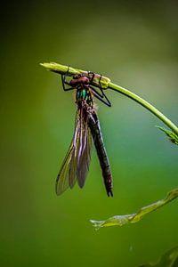 Libelle auf einem Zweig von Natasja Bittner