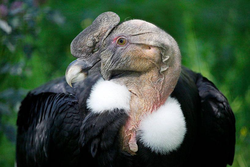 Andescondor (Vultur gryphus) van Melissa Peltenburg