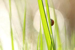 Lady bug  van Lieuwkje Vlasma