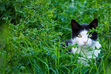 Eine schwarz-weiße Katze schleicht sich durch ein Feld von Matthias Korn