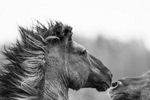 Vechtende wilde paarden van