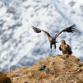 Zeearend landt naast een andere zeearend van Karla Leeftink
