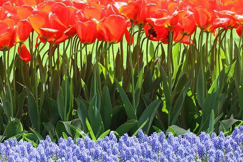 Tulpen in de Keukenhof (8)