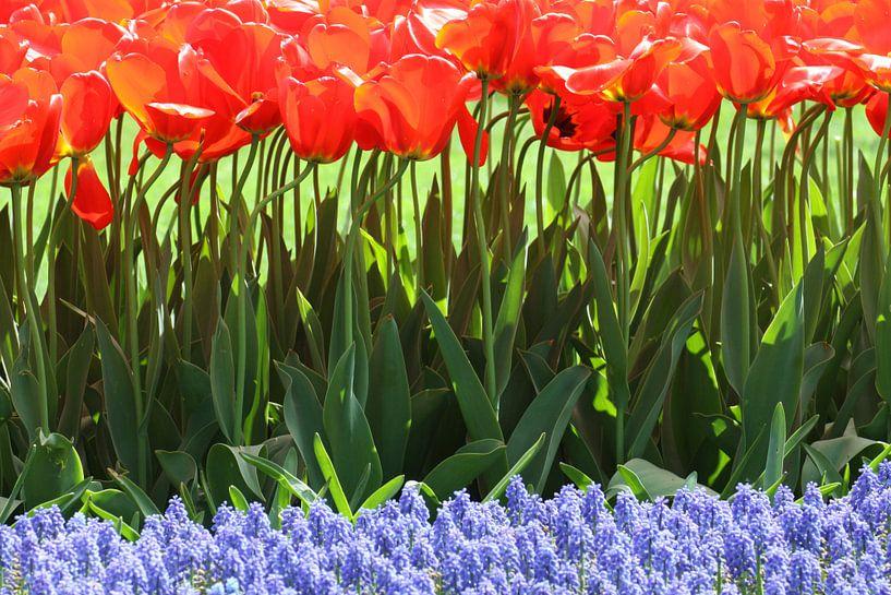 Tulpen in de Keukenhof (8) van Antwan Janssen