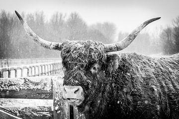 Highlander im Schnee (s/w) von Amanda van den Berg / Fotografie Amanda