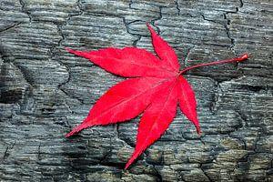 Rood Esdoornblad op zwart verbrand hout