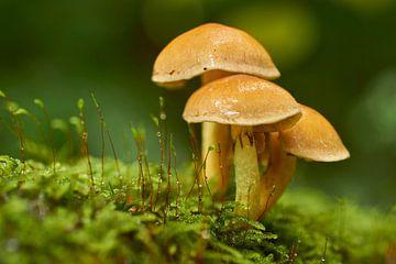 Drie paddenstoelen in mos