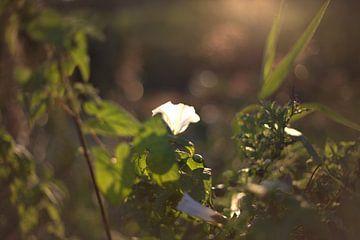 weiße Blume im Sonnenuntergang von harm Henstra