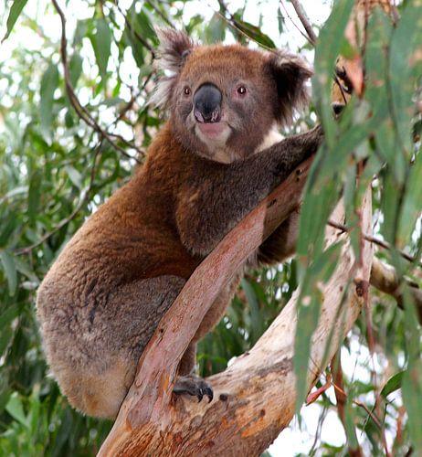 Nieuwsgierige koalabeer, Australie